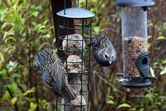 Starlings (NTG842) Tags: stalybridge tameside england starlings garden birds wildlife