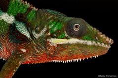 Furcifer pardalis (Ferdy Timmerman) Tags: furcifer pardalis panther chameleon reptile animal blackbackground nikon d90 ferdytimmerman