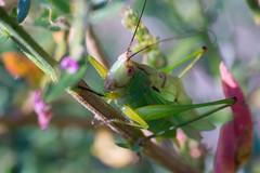 DSC07016 (latower88) Tags: katydid