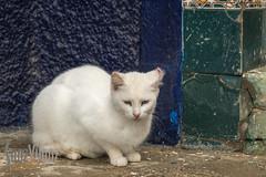Chewed Ear (Sue_Hutton) Tags: asilah maroc morocco november2016 autumn cat northernmorocco