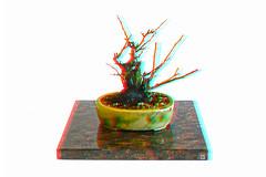 ana6.0 prunus mume shohin 11-26-16 (fredtruck) Tags: floweringapricot shohin winter bonsai ume