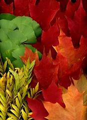 57889.01 Gleditsia triancanthos inermis, Ginkgo biloba, Acer (horticultural art) Tags: horticulturalart gleditsiatriancanthosinermis honeylocust ginkgobiloba ginkgo acer maple leaves fallleaves fallcolor