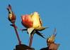DSC_2107 (PeaTJay) Tags: nikond70s reading lowerearley berkshire macro micro closeups gardens outdoors nature winter frost flora fauna plants flowers rose roses rosebuds