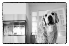 48/52 Nick`s Treasure Hunt (Eline Lyng) Tags: inside fireplace interior pet dog animal canine golden retriever goldenretriever portrait bw blackandwhite monochrome humor leica leicaq q summilux 28mm 52weeksfordogs nick