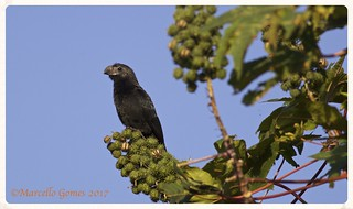 Groove-billed Ani (Crotophaga sulcirostris) GBAN - Let 2017 start with a Lifer! (Best seen large)