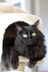 Brciscola (balboni.antonella) Tags: occhi sguardo felino gatto pelo micio micia amico razza