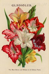 GladiolusThe Most Showy and Brilliant of All Bulbous Plants (Alan Mays) Tags: old flowers red plants white ny newyork green yellow vintage ads paper advertising typography colorful antique illustrations ephemera rochester type bulbs bulbous advertisements brochures fonts flyers printed brilliant rupert seneca notices printers gladiolus fliers typefaces gladioli vredenburg publishers nurseries leaflets circulars showy lithographers bulbousplants vredenburgco vredenburgcompany wprupertson wprupert