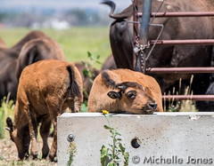 August 4, 2015 - This young bison was pretty tired at the Rocky Mountain Arsenal. (Michelle Jones)