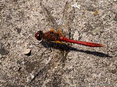 Ruddy Darter (Roger B.) Tags: dragonfly unitedkingdom darter barnsley southyorkshire odonata lws ruddydarter sympetrumsanguineum stainboroughpark localwildlifesite