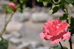 Re Halikarnasu (bazylek100) Tags: rose turkey ancient ruins trkiye ruin mausoleum seven archaeological wonders bodrum turcja ra halicarnassus asiaminor caria mauzoleum mausollos