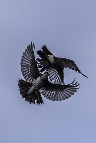 Bird Ballet-3