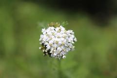 Ball Flower (Omair Anwer) Tags: pakistan white flower macro ball valley kaghan shogran kpk