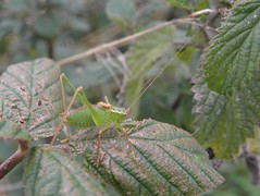 Speckled bush crickets (rockwolf) Tags: insect shropshire cricket orthoptera leptophyespunctatissima rockwolf speckledbushcricket crudgington