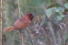 Scaly-breasted Munia (Philippe Lcuyer) Tags: pakistan bird oiseau islamabad rawallake