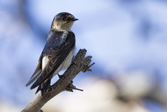 Tree Martin 2015-09-19 (_MG_5481) (ajhaysom) Tags: australia melbourne australianbirds greenvale treemartin petrochelidonnigricans canoneos60d sigma150600 woodlandshistoricpark