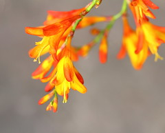 Montbretia (jdathebowler Thanks for 1.1 Million + views.) Tags: montbretia nature eve impressedbyyourbeauty flowerscolors yellowyelloweverywhere
