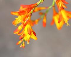 Montbretia (jdathebowler Thanks for 805,000+ views.) Tags: eve nature montbretia flowerscolors impressedbyyourbeauty