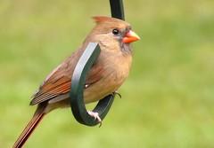 That Certain Look (ChicaD58) Tags: fall female happy backyard cardinal ngc npc redbird northerncardinal 062a macroelsalvador natureselegantshots thebestofmimamorsgroups