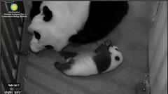 Bei-Applauding Mom (partipersian) Tags: mom mei pandas bei meixiang beibei pandacug
