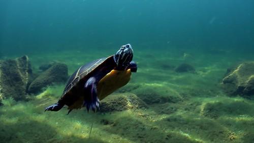 Phillips Lake Turtle - S Underwood