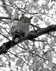I See Yoooo (kpgoldman.nature) Tags: park wild bird oregon october state wildlife great explore owl horned molalla canby 2015 explored10172015
