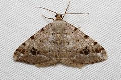 Digrammia denticulata - Hodges # 6373 (Nick Dean1) Tags: animal washington moth lepidoptera geometridae washingtonstate arthropods animalia arthropoda everett hodges arthropod hexapod washingtonusa hexapods hexapoda 6373 digrammiadenticulata hodges6373