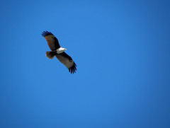 Freedom (ishraq anjum) Tags: blue sky kite seaeagle redbacked brahminy