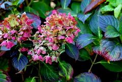 Hydrangea macrophylla (Two_tango) Tags: flower herbst hydrangea blte hortensie hortensia frbung macrophylla