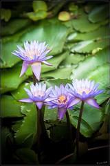 Love Is [must be !] All (mr.letof) Tags: paris flower green water fleur nikon eau waterlily purple mud lotus violet tranquility calm serenity wisdom inmemoriam vers lightroom boue sérénité sagesse nénuphare d700 nikond700 mrletof nikkor70300mmf4556gafsvrifed