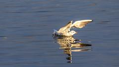 Mouette rieuse (Chroicocephalus ridibundus) (yann.dimauro) Tags: france animal fr extérieur oiseau rhone rhônealpes givors ornithologie