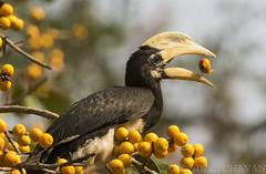 Malabar Pied Hornbill. (Vikas.B.Chavan) Tags: nikon d7100 afs nikkor 300mm f4d ifed tc 17e ii ngc npc naturethroughthelens coth5