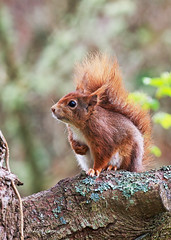 Red Squirrel (Sciurus vulgaris) (M Carmody Photography) Tags: cruise red expedition canon mammal squirrel native conservation lindblad national geographic scilly nationalgeographic introduction redsquirrel tresco vulgaris carmo sciurusvulgaris introduced 2015 scillyisles britainandireland sciurus carmody carmopolice pestfree carmopolis markcarmody markcarmodyphotography lindbladnationalgeographic markcarmodyphotographycom markcphotografy mc008292