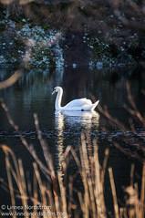 Swan in Golden Sunlight