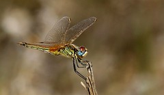 Red-veined Darter Dragonfly   (Sympetrum fonscolombii) (nick.linda) Tags: spain dragonflies sympetrumfonscolombii redveineddarterdragonfly femaleredveineddarterdragonfly