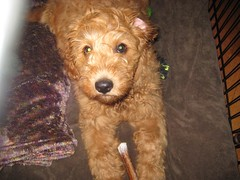 this-is-garrison---hes-one-of-ginger-and-chewys--puppies_5771832003_o