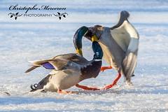 Fighting Mallard ducks - Anas platyrhynchos (merceronchristophe) Tags: winter bird animal duck outdoor michigan wildlife mallard
