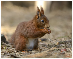 Formby Pinewoods 25 173 (Brian Gort Wildlife Photography) Tags: red squirrel formby pinewoods pine wood merseyside animal nature nikon naturallight natural native catchlight colour colours colourful cream brown white