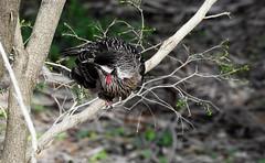 Curious wattlebird (Lesley A Butler) Tags: wildflowers wa kingspark australia perth
