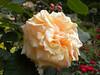 Rose in Balchik botanical garden, Bulgaria (cod_gabriel) Tags: bulgaria balchik balcic dobrogea dobruja dobrudja cadrilater botanicalgarden grădinăbotanică gradinabotanica rose trandafir dof depthoffield shallowfocus shallowdof bokeh