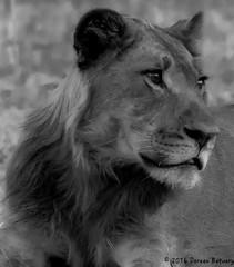 The King!!! (Doreen Bequary) Tags: botswana bigcat bigfive africa afs200500mm d500 carnivore chobe monochrome blackandwhite