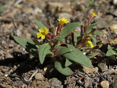 miniature monkeyflower, Erythranthe suksdorfii (Jim Morefield) Tags: carsoncity nevada unitedstates us phrymaceae lopseedfamily erythranthe erythranthesuksdorfii wfgna flora wildflower wildflowers angiosperm dicot plant flowers flower blossom bloom miniaturemonkeyflower annuals annual steppe prisonhill carsonriver soil silversaddleranch greatbasin spring sand olympus evolt e510 olympuse510 jdm20160298 taxonomy:family=phrymaceae taxonomy:genus=erythranthe taxonomy:binomial=erythranthesuksdorfii taxonomy:common=miniaturemonkeyflower geo:alt=1450m yellow red 5petals roundcluster oddshaped