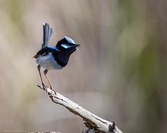 Tweet....tweet..... (Mykel46) Tags: 100400mk2 1dxmk2 canon nature superbfairywren blue birds tweet newton southaustralia australia au