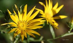 02-IMG_5913 (hemingwayfoto) Tags: adenophorabulleyana berggartenhannover blhen blte blume china garten gelb korbblter natur panther park pflanze schellenblume