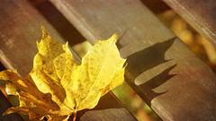 Textures of autumn (Elisafox22 slowly beating the Shingles!) Tags: elisafox22 sony ilca77m2 100mmf28 macro macrolens telemacro texturaltuesday htt leaf sycamore golden yellow shadow shadows bench wood lines bokeh sunshine stilllife texturing textures elisaliddell©2016