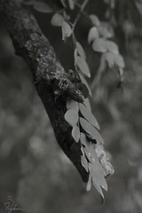 Elegant Leaves (Sarah_Brigham) Tags: nikon nikond5200 sarahbrigham sarah brigham photography photo artistic outdoors outside hiking woods forest autumn fall nature art black white gray monochrome bw blackandwhite closep branch leaves leaf texture bokeh tree wood lines leading diagonal naturallight availablelight light elegantleaves elegant