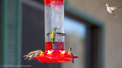 US_CA_Malibu_26471_2016-October-16_155929_HeidiPodjavorsek.jpg (Heidi M Podjavorsek) Tags: california usa northamerica nature bird losangeles season location malibu malibulagoon fauna annashummingbird hummingbird
