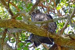 Powerful Owl with prey_7014E (Neil H Mansfield) Tags: powerfulowl owl camdenhead bird pigeon prey seaacres ninoxstrenua