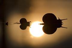Follow me// Sgueme (Mireia B. L.) Tags: macromondays macromondaysbacklit backlit backlight luzdefondo contraluz snails caracoles silhouettes siluetas macro sunset atardecer reflejo reflection