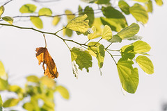 One old brown leaf on branch of green leaves (jack-sooksan) Tags: brown green leaf leaves tree nature abstract die dead fall spring branch stalk foliage tear hang adhere stick dying marginal moribund autumn season change shed bloom blossom sprout drop down comeoff life