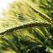 Wheat & LadyBird Beetle